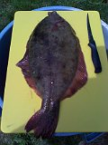 6 lb 1 oz flounder  taken on a zobo rig in boston harbor by steven lebert-06 13 1077-72-6